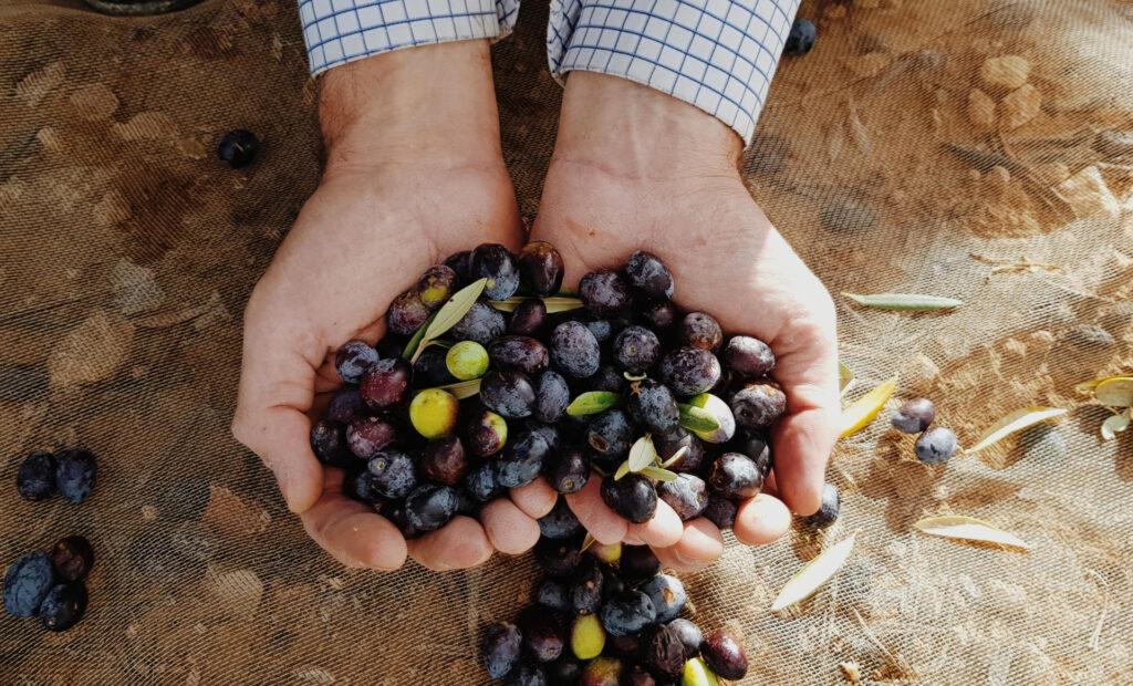 Indesinenter: oli d'oliva verge extra de Mallorca amb denominació d'origen